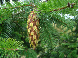 Douglas-fir cone attached to the branch.