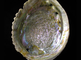 Inside of a shiny iridescent shell with ridged edges.